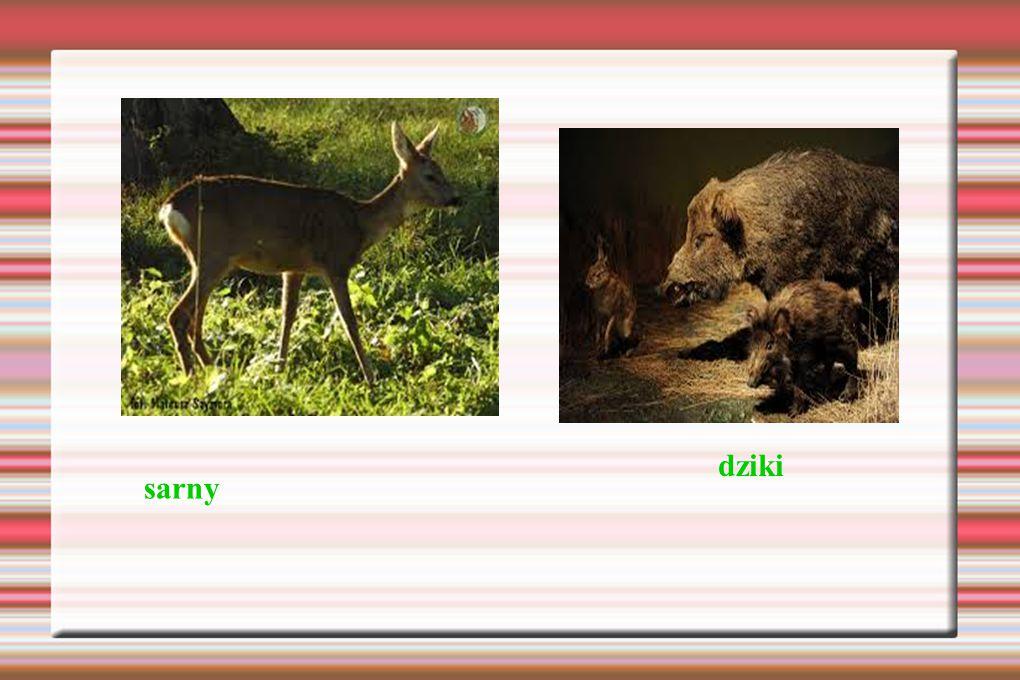 sarny dziki
