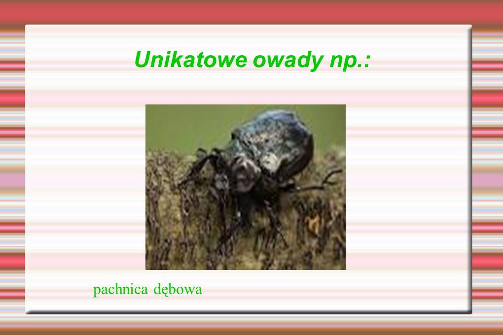 Unikatowe owady np.: pachnica dębowa