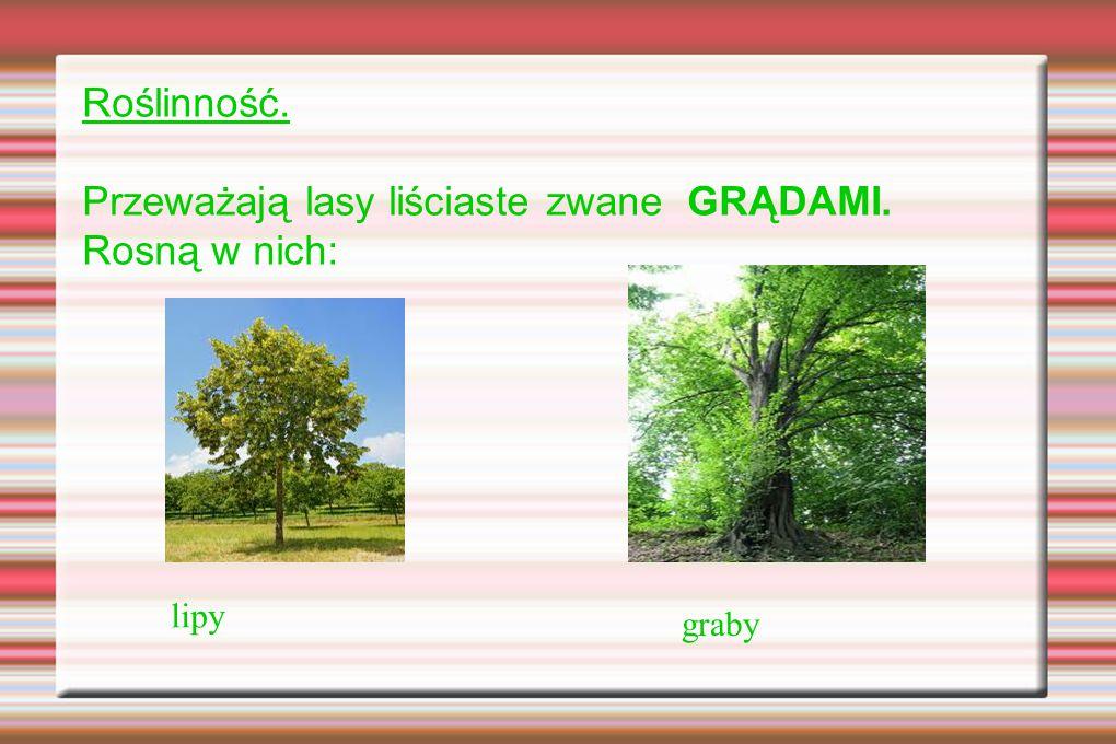 Roślinność. Przeważają lasy liściaste zwane GRĄDAMI. Rosną w nich: lipy graby