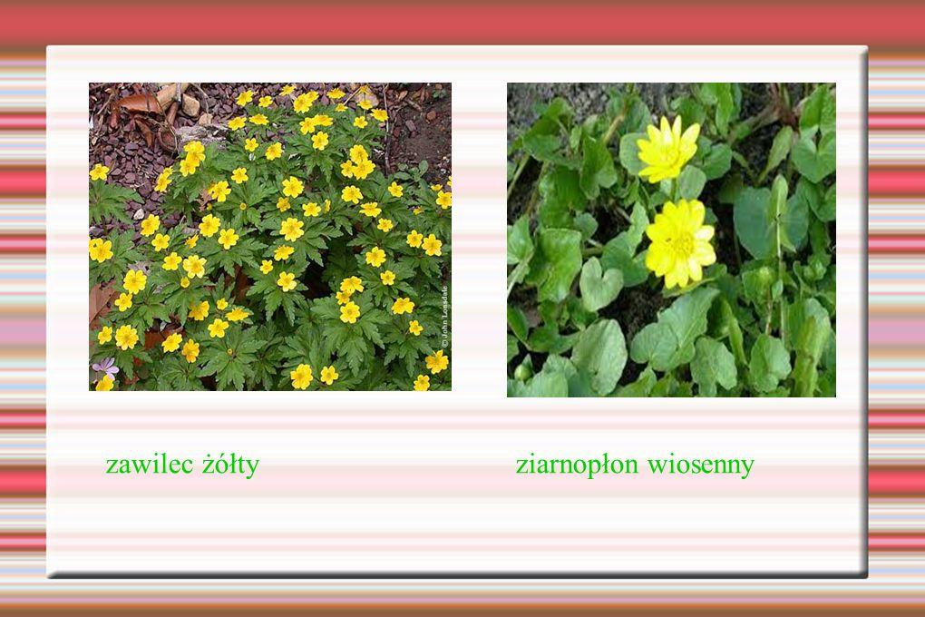 zawilec żółty ziarnopłon wiosenny