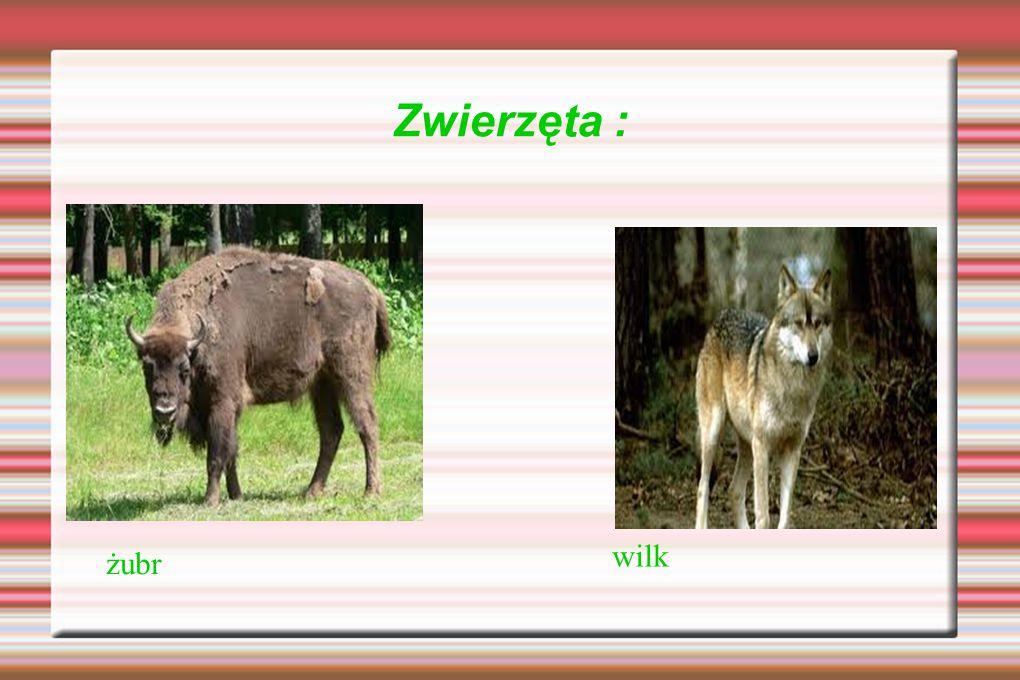Zwierzęta : żubr wilk