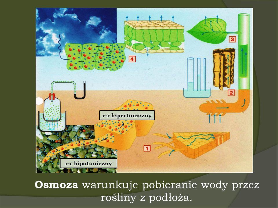 Osmoza warunkuje pobieranie wody przez rośliny z podłoża. r-r hipotoniczny r-r hipertoniczny