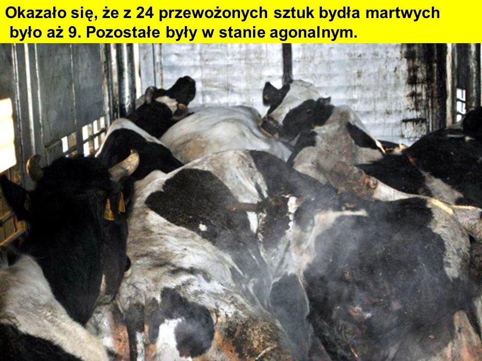 Okazało się, że z 24 przewożonych sztuk bydła martwych było aż 9. Pozostałe były w stanie agonalnym.