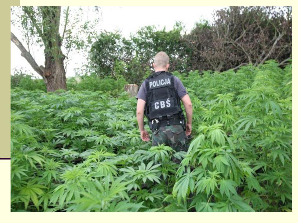Pytanie 2 Po czym można poznać, że ktoś pali marihuanę bądź haszysz?
