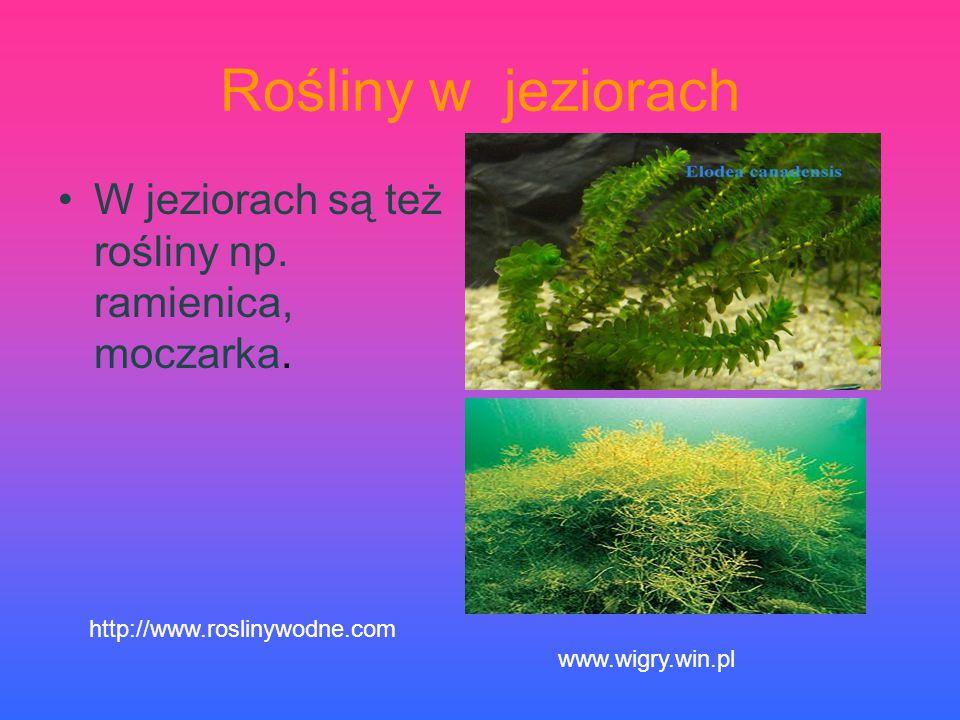 Rośliny w jeziorach W jeziorach są też rośliny np. ramienica, moczarka. http://www.roslinywodne.com www.wigry.win.pl