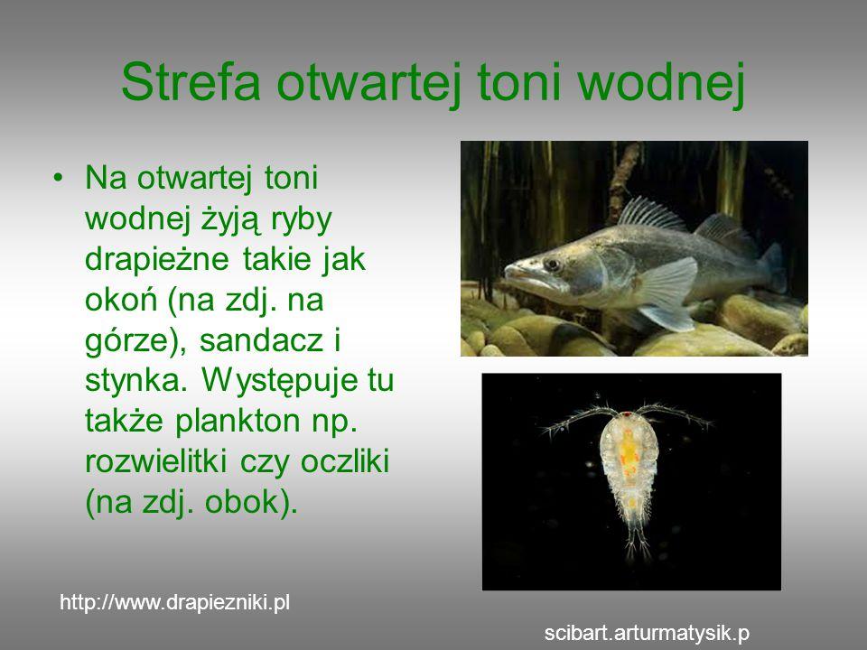 Strefa otwartej toni wodnej Na otwartej toni wodnej żyją ryby drapieżne takie jak okoń (na zdj. na górze), sandacz i stynka. Występuje tu także plankt