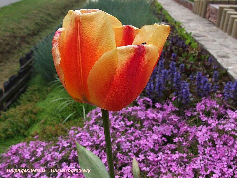 Tulipa gesneriana – Tulipan ogrodowy