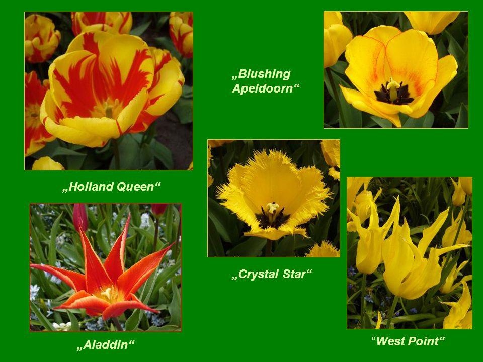 """Siam "" tulipany z Tajlandii ""Estella-Rynveld "" ""Golden-Artist"""