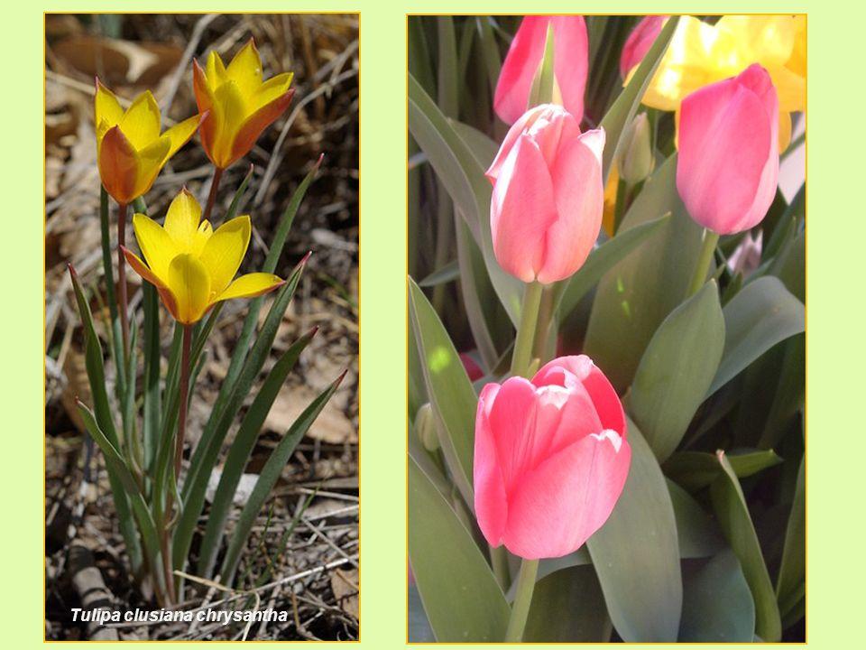 Tulipa clusiana chrysantha