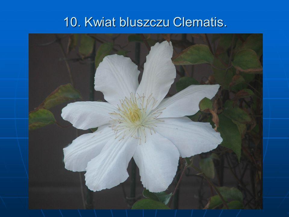 10. Kwiat bluszczu Clematis.