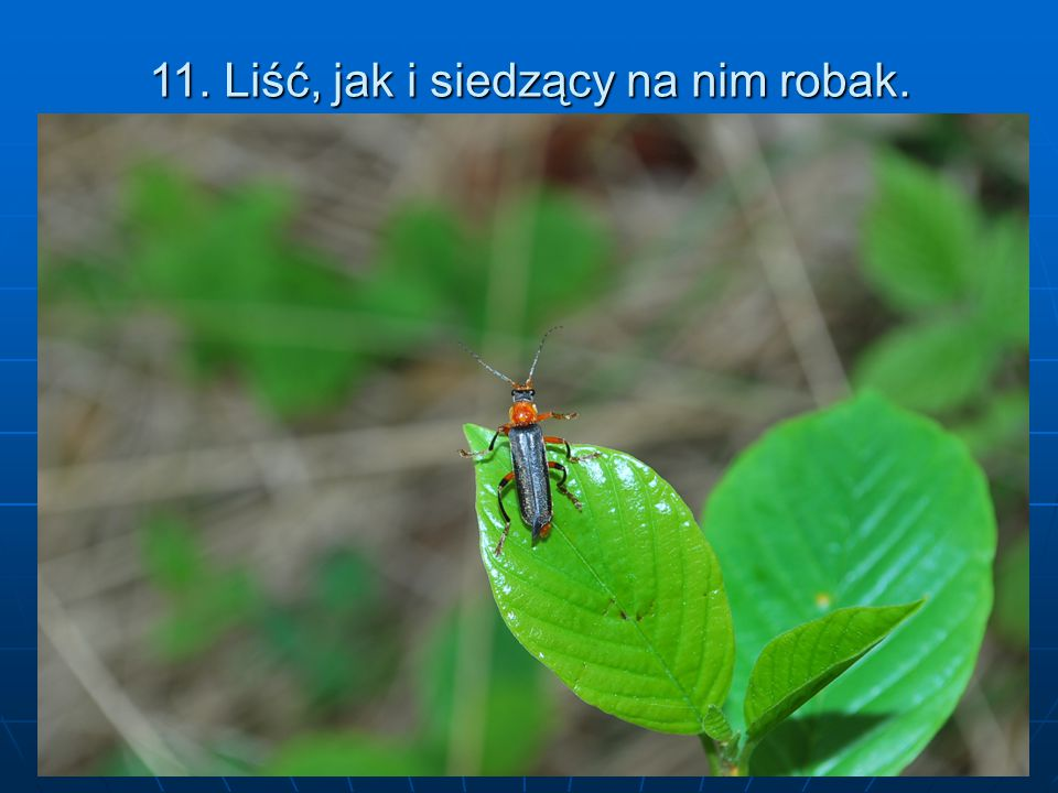 11. Liść, jak i siedzący na nim robak.
