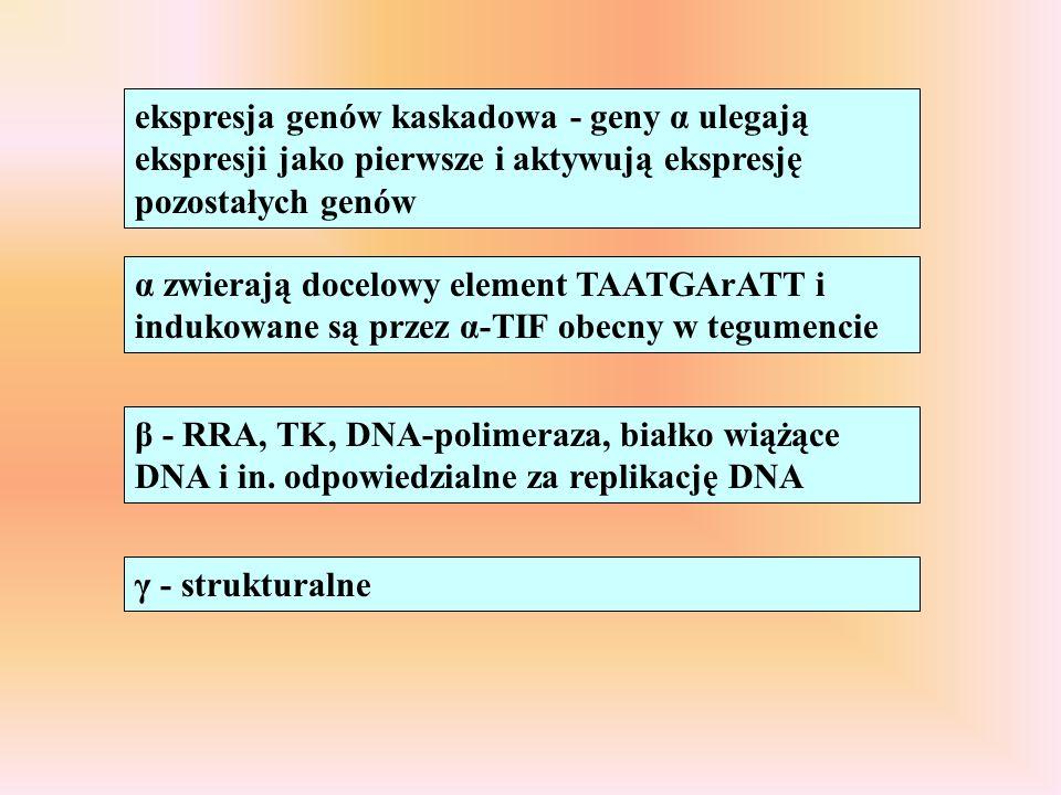 ekspresja genów kaskadowa - geny α ulegają ekspresji jako pierwsze i aktywują ekspresję pozostałych genów α zwierają docelowy element TAATGArATT i ind