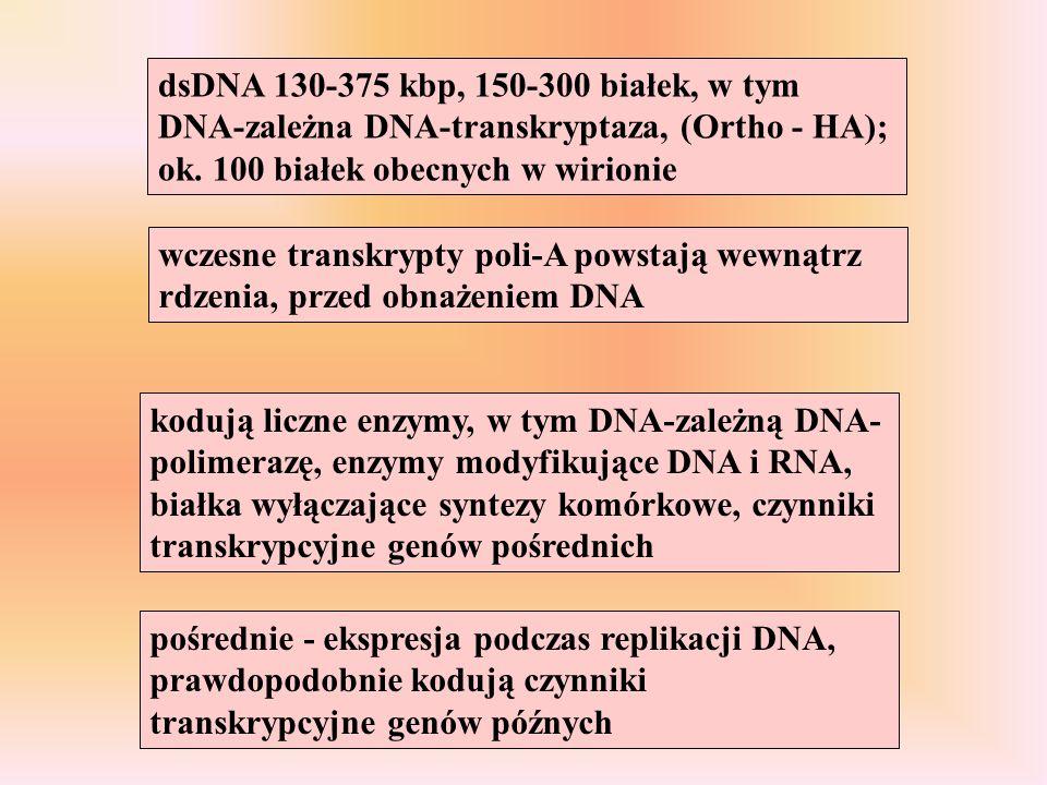wczesne transkrypty poli-A powstają wewnątrz rdzenia, przed obnażeniem DNA kodują liczne enzymy, w tym DNA-zależną DNA- polimerazę, enzymy modyfikując