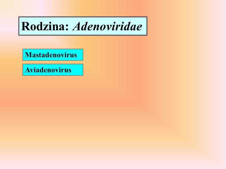 Rodzina: Adenoviridae Mastadenovirus Aviadenovirus