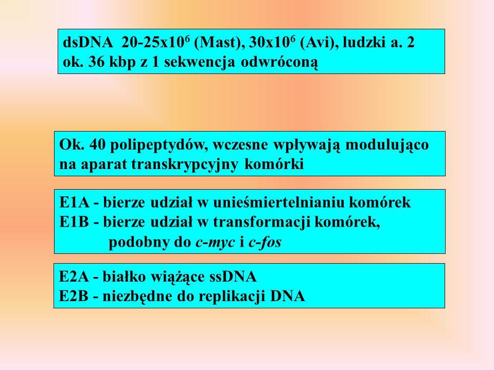 Ok. 40 polipeptydów, wczesne wpływają modulująco na aparat transkrypcyjny komórki E1A - bierze udział w unieśmiertelnianiu komórek E1B - bierze udział