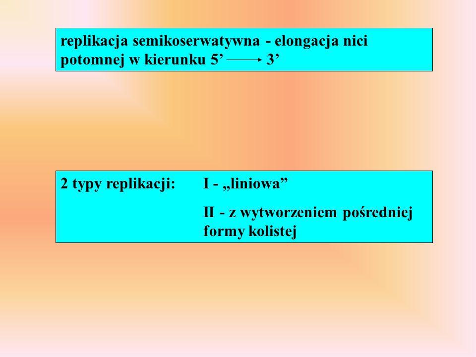 """replikacja semikoserwatywna - elongacja nici potomnej w kierunku 5' 3' 2 typy replikacji: I - """"liniowa"""" II - z wytworzeniem pośredniej formy kolistej"""