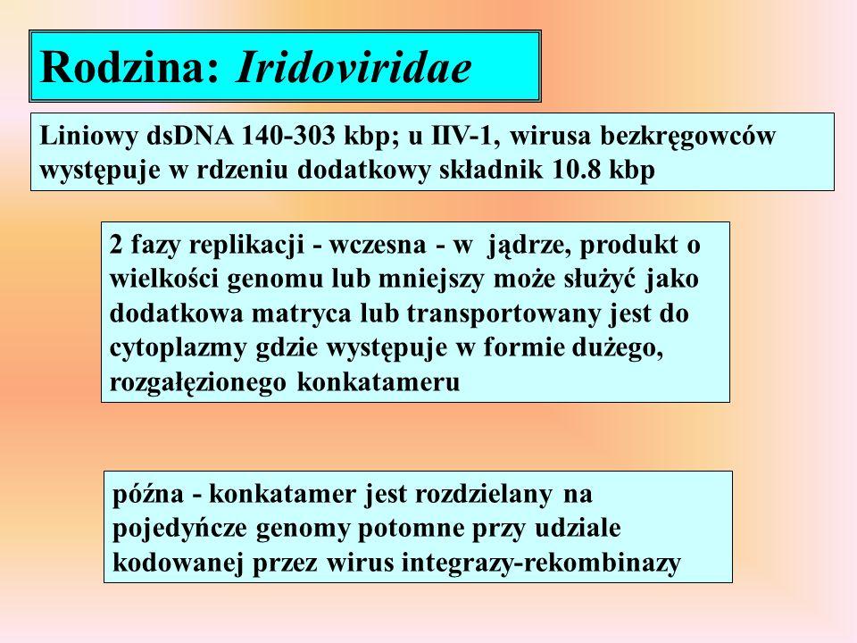 Rodzina: Iridoviridae Liniowy dsDNA 140-303 kbp; u IIV-1, wirusa bezkręgowców występuje w rdzeniu dodatkowy składnik 10.8 kbp 2 fazy replikacji - wcze