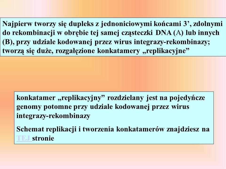 Najpierw tworzy się dupleks z jednoniciowymi końcami 3', zdolnymi do rekombinacji w obrębie tej samej cząsteczki DNA (A) lub innych (B), przy udziale