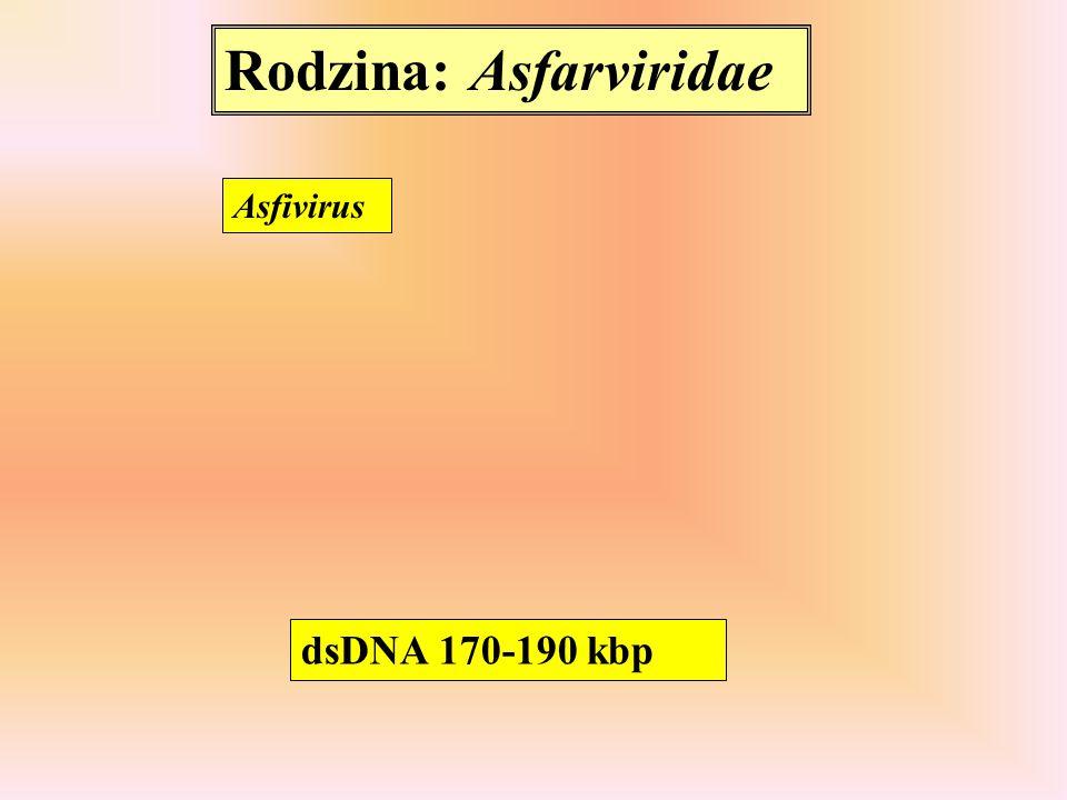 Rodzina: Asfarviridae Asfivirus dsDNA 170-190 kbp
