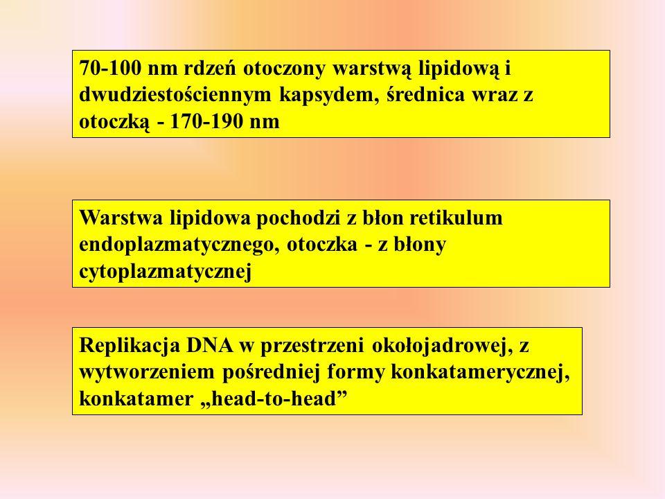 70-100 nm rdzeń otoczony warstwą lipidową i dwudziestościennym kapsydem, średnica wraz z otoczką - 170-190 nm Warstwa lipidowa pochodzi z błon retikul