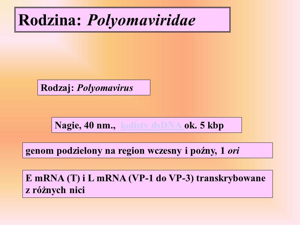 Rodzina: Polyomaviridae Rodzaj: Polyomavirus Nagie, 40 nm., kolisty dsDNA ok. 5 kbpkolisty dsDNA genom podzielony na region wczesny i poźny, 1 ori E m