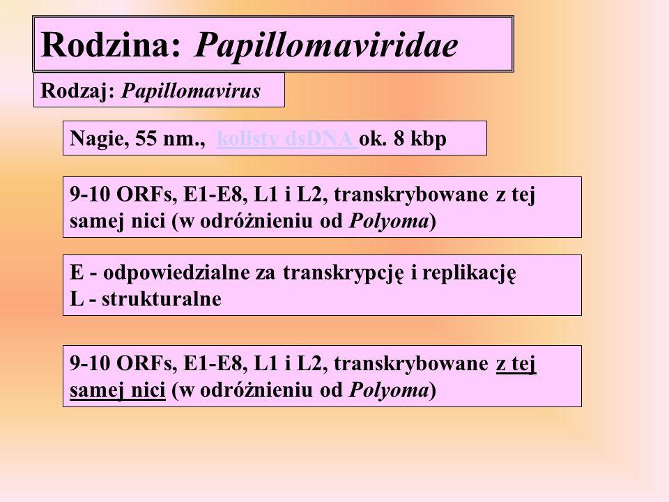 Rodzina: Papillomaviridae Rodzaj: Papillomavirus Nagie, 55 nm., kolisty dsDNA ok. 8 kbpkolisty dsDNA 9-10 ORFs, E1-E8, L1 i L2, transkrybowane z tej s