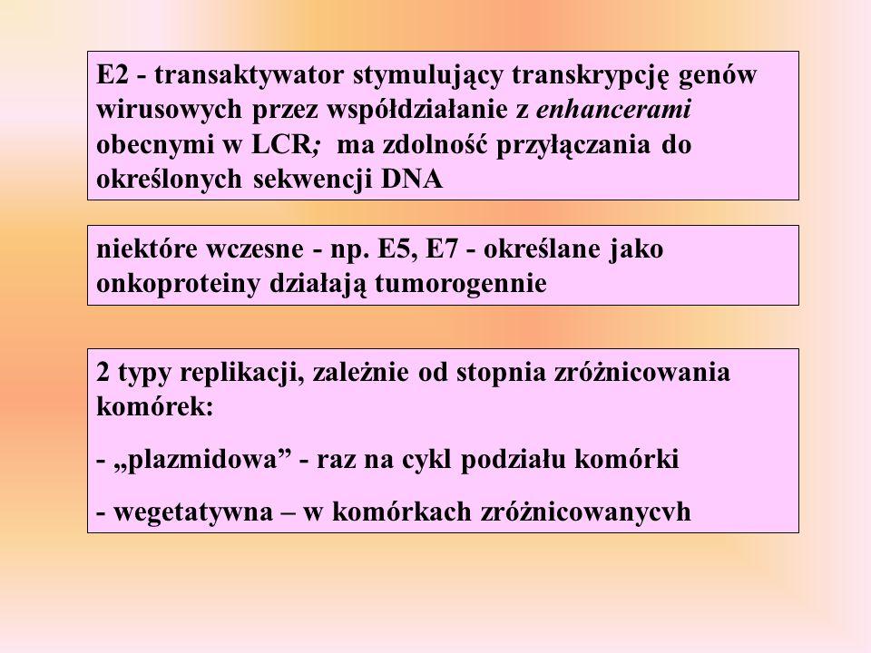 niektóre wczesne - np. E5, E7 - określane jako onkoproteiny działają tumorogennie E2 - transaktywator stymulujący transkrypcję genów wirusowych przez
