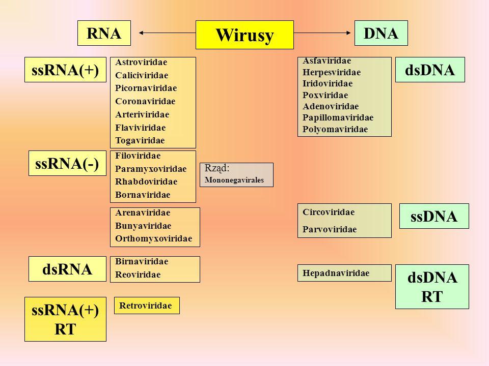 Wirusy RNADNA dsDNA ssDNA dsDNA RT ssRNA(+) ssRNA(-) dsRNA ssRNA(+) RT Astroviridae Caliciviridae Picornaviridae Coronaviridae Arteriviridae Flaviviri
