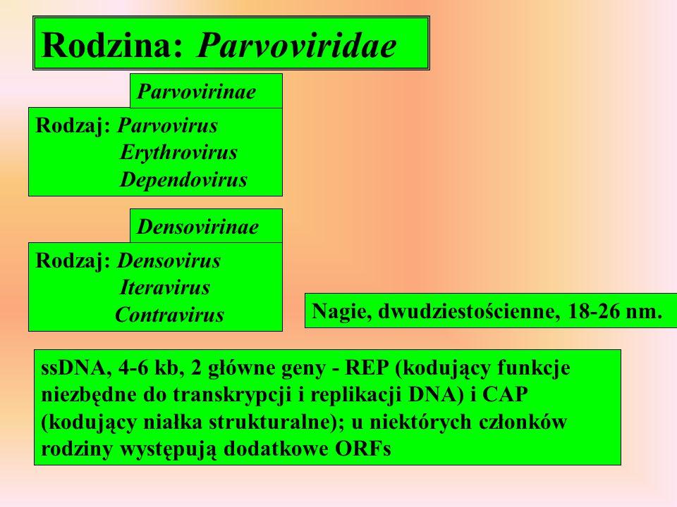 Rodzina: Parvoviridae Rodzaj: Parvovirus Erythrovirus Dependovirus Parvovirinae Densovirinae Rodzaj: Densovirus Iteravirus Contravirus Nagie, dwudzies