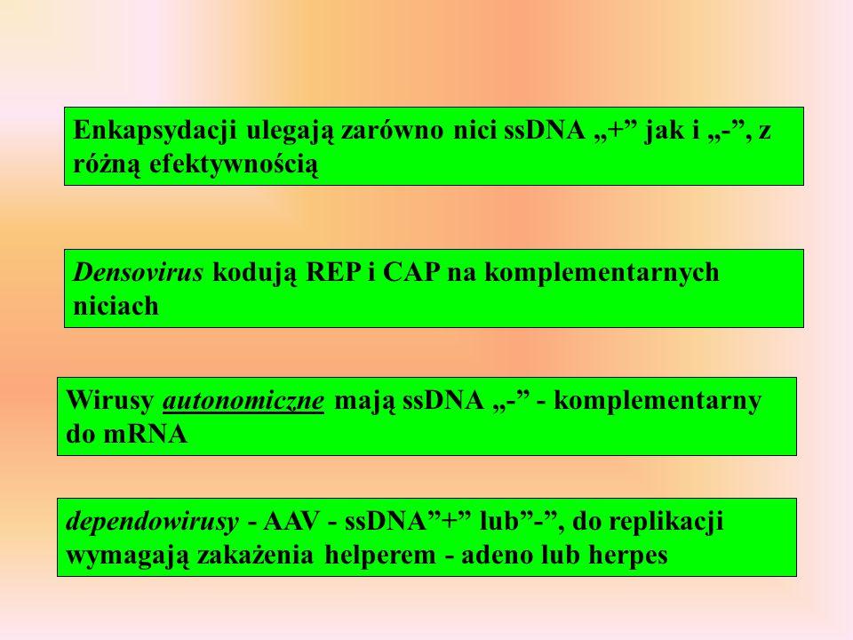 """Enkapsydacji ulegają zarówno nici ssDNA """"+"""" jak i """"-"""", z różną efektywnością Densovirus kodują REP i CAP na komplementarnych niciach Wirusy autonomicz"""
