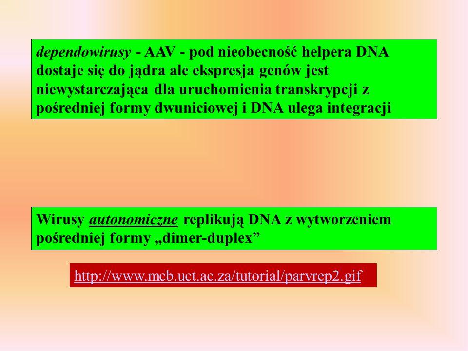 dependowirusy - AAV - pod nieobecność helpera DNA dostaje się do jądra ale ekspresja genów jest niewystarczająca dla uruchomienia transkrypcji z pośre