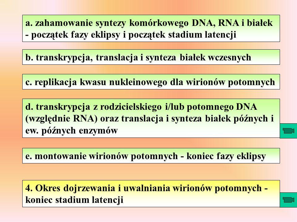 Rodzina: Herpesviridae Podrodzina: Alphaherpesvirinae Podrodzina: Betaherpesvirinae Podrodzina: Gammaherpesvirinae Simplexvirus Varicellovirus Cytomegalovirus Muromegalovirus Roseolovirus Lymphocryptovirus Rhadinovirus