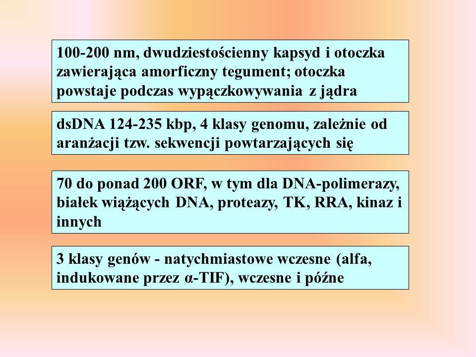 100-200 nm, dwudziestościenny kapsyd i otoczka zawierająca amorficzny tegument; otoczka powstaje podczas wypączkowywania z jądra dsDNA 124-235 kbp, 4