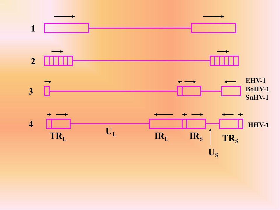 Rodzina: Iridoviridae Liniowy dsDNA 140-303 kbp; u IIV-1, wirusa bezkręgowców występuje w rdzeniu dodatkowy składnik 10.8 kbp 2 fazy replikacji - wczesna - w jądrze, produkt o wielkości genomu lub mniejszy może służyć jako dodatkowa matryca lub transportowany jest do cytoplazmy gdzie występuje w formie dużego, rozgałęzionego konkatameru późna - konkatamer jest rozdzielany na pojedyńcze genomy potomne przy udziale kodowanej przez wirus integrazy-rekombinazy