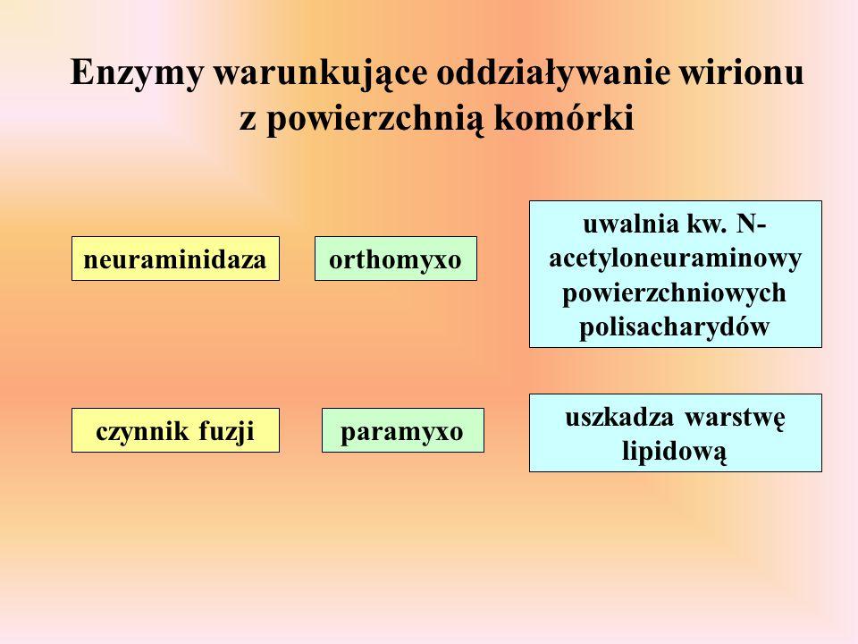 neuraminidazaorthomyxo uwalnia kw. N- acetyloneuraminowy powierzchniowych polisacharydów czynnik fuzjiparamyxo uszkadza warstwę lipidową Enzymy warunk