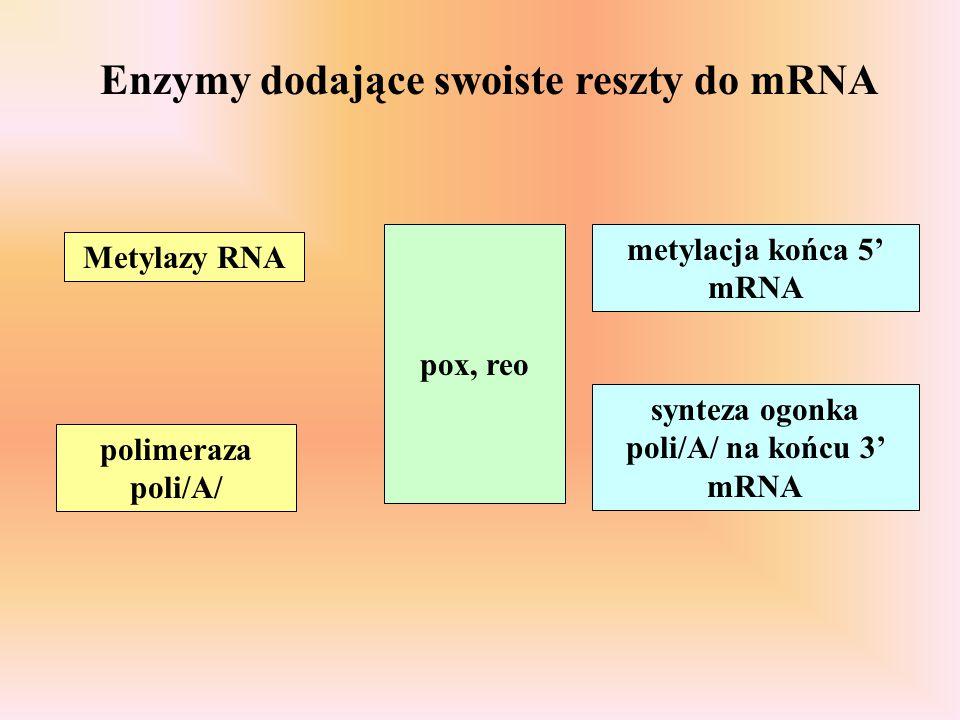 Enzymy dodające swoiste reszty do mRNA Metylazy RNA polimeraza poli/A/ pox, reo metylacja końca 5' mRNA synteza ogonka poli/A/ na końcu 3' mRNA