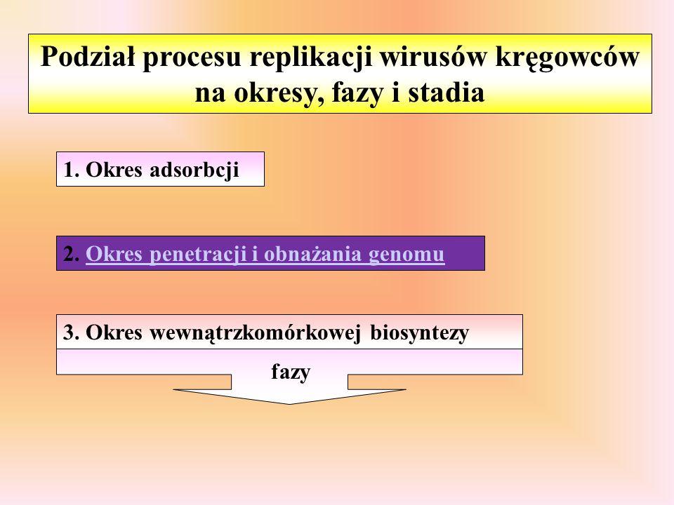 Podział procesu replikacji wirusów kręgowców na okresy, fazy i stadia 1. Okres adsorbcji 2. Okres penetracji i obnażania genomu 3. Okres wewnątrzkomór