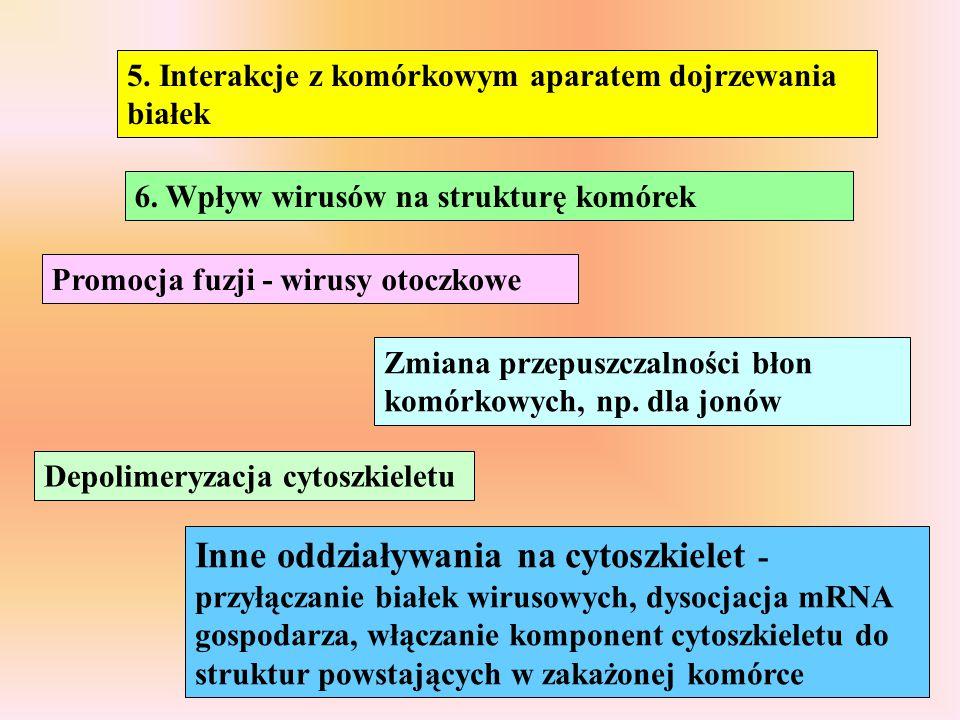 6. Wpływ wirusów na strukturę komórek Promocja fuzji - wirusy otoczkowe Zmiana przepuszczalności błon komórkowych, np. dla jonów Depolimeryzacja cytos