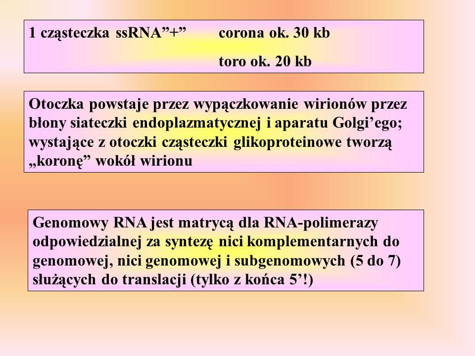 """1 cząsteczka ssRNA""""+""""corona ok. 30 kb toro ok. 20 kb Otoczka powstaje przez wypączkowanie wirionów przez błony siateczki endoplazmatycznej i aparatu G"""