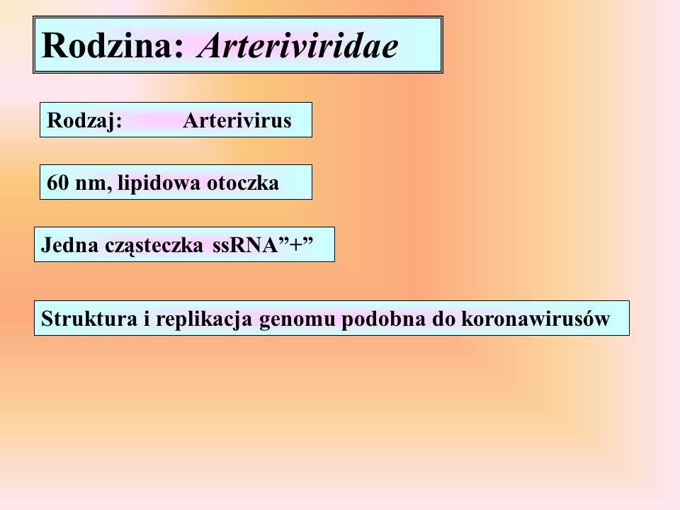 """Rodzina: Arteriviridae Rodzaj:Arterivirus 60 nm, lipidowa otoczka Jedna cząsteczka ssRNA""""+"""" Struktura i replikacja genomu podobna do koronawirusów"""