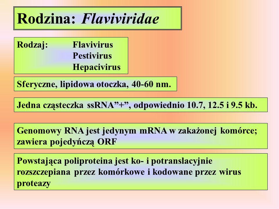"Rodzina: Flaviviridae Rodzaj:Flavivirus Pestivirus Hepacivirus Sferyczne, lipidowa otoczka, 40-60 nm. Jedna cząsteczka ssRNA""+"", odpowiednio 10.7, 12."