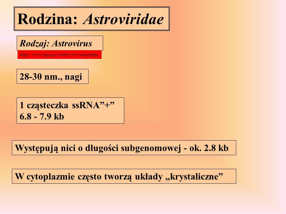 Rodzina: Caliciviridae Rodzaj: Calicivirus nagi, 30-38 nm Jedna cząsteczka ssRNA + 7.4- 7.7 kb, u większości przedstawicieli zawierająca na końcu 5' białko Vpg Niekiedy dochodzi do enkapsydacji RNA o niepełnej długości - 2.2-2.4 kb Genomowy RNA służy do translacji białek niestrukturalnych (u RHDV również kapsydu), białka kapsydu powstają na matrycy cząstek subgenomowych http://www.epa.gov/nerlcwww/calici.htm