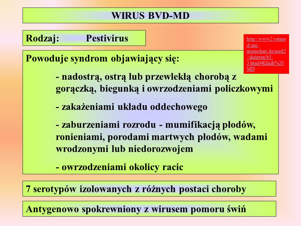 WIRUS BVD-MD Rodzaj:Pestivirus Powoduje syndrom objawiający się: - nadostrą, ostrą lub przewlekłą chorobą z gorączką, biegunką i owrzodzeniami policzk