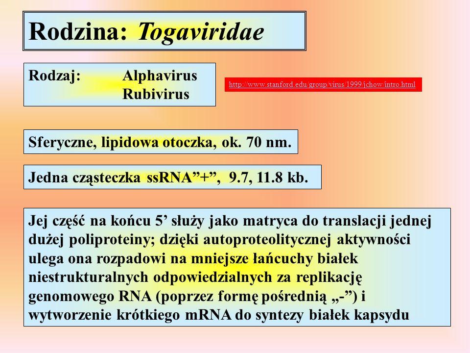"""Rodzina: Togaviridae Rodzaj:Alphavirus Rubivirus Sferyczne, lipidowa otoczka, ok. 70 nm. Jedna cząsteczka ssRNA""""+"""", 9.7, 11.8 kb. Jej część na końcu 5"""