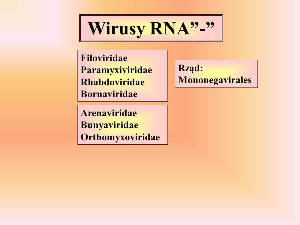 """Wirusy RNA""""-"""" Filoviridae Paramyxiviridae Rhabdoviridae Bornaviridae Arenaviridae Bunyaviridae Orthomyxoviridae Rząd: Mononegavirales"""