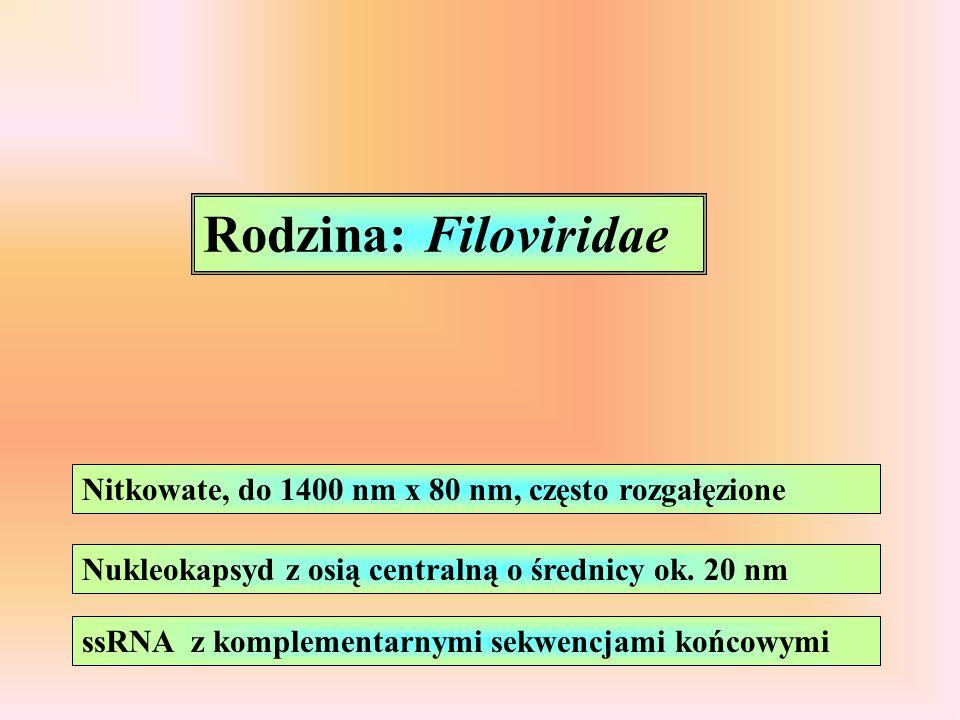 Rodzina: Filoviridae Nitkowate, do 1400 nm x 80 nm, często rozgałęzione Nukleokapsyd z osią centralną o średnicy ok. 20 nm ssRNA z komplementarnymi se