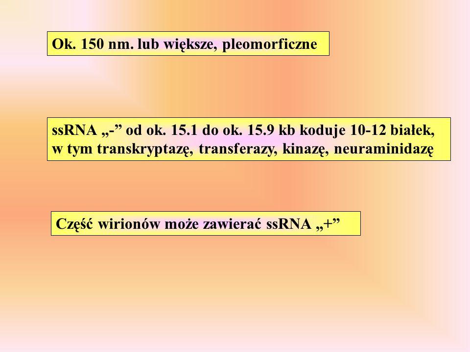 """Ok. 150 nm. lub większe, pleomorficzne ssRNA """"-"""" od ok. 15.1 do ok. 15.9 kb koduje 10-12 białek, w tym transkryptazę, transferazy, kinazę, neuraminida"""