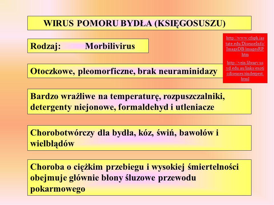 WIRUS POMORU BYDŁA (KSIĘGOSUSZU) Otoczkowe, pleomorficzne, brak neuraminidazy Bardzo wrażliwe na temperaturę, rozpuszczalniki, detergenty niejonowe, f