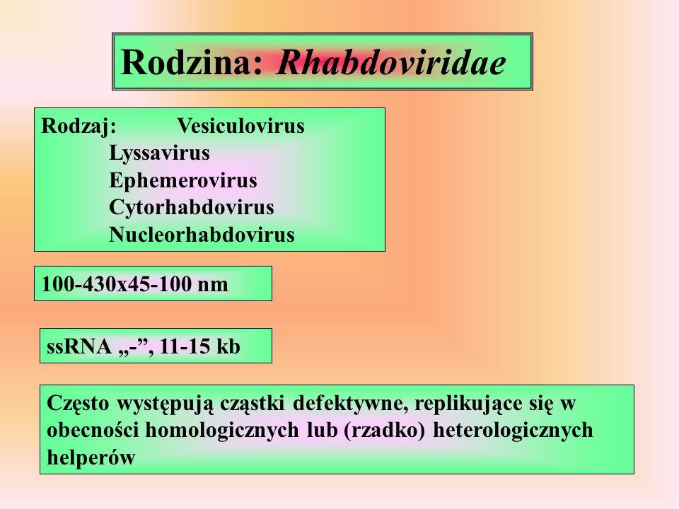 """Rodzina: Rhabdoviridae Rodzaj:Vesiculovirus Lyssavirus Ephemerovirus Cytorhabdovirus Nucleorhabdovirus 100-430x45-100 nm ssRNA """"-"""", 11-15 kb Często wy"""