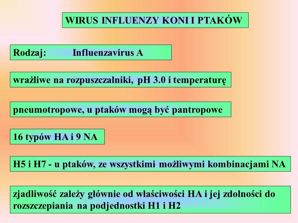 WIRUS INFLUENZY KONI I PTAKÓW Rodzaj:Influenzavirus A wrażliwe na rozpuszczalniki, pH 3.0 i temperaturę pneumotropowe, u ptaków mogą być pantropowe 16